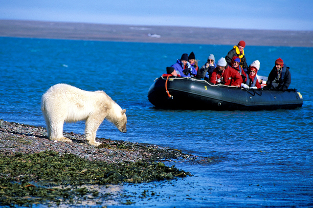In the summer of 2008, two polar bears landed in Iceland having arrived on glaciers that floated down from Greenland. Both were eventually shot and killed, causing causing uproar across the country.